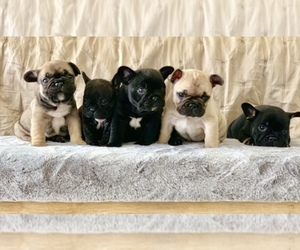 Main photo of French Bulldog Dog Breeder near LEAWOOD, KS, USA