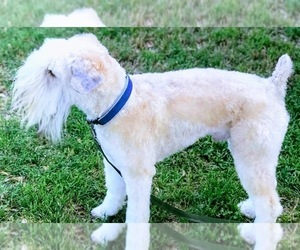 Main photo of Soft Coated Wheaten Terrier Dog Breeder near ACTON, TX, USA