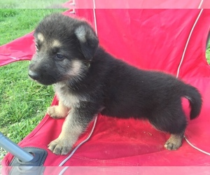 German Shepherd Dog Breeder in GLASGOW, KY, USA