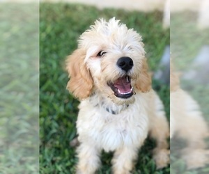 Goldendoodle Dog Breeder in CASEY CREEK,  USA