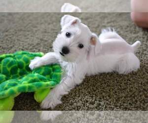Schnauzer Miniature Dog Breeder In Springfield Missouri Usa