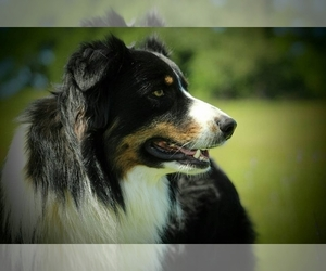 Australian Shepherd Breeder in WEATHERFORD, TX