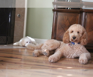 Main photo of Australian Labradoodle Dog Breeder near FRISCO, TX, USA