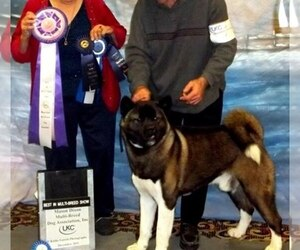 Main photo of Akita Dog Breeder near FAYETTEVILLE, OH, USA