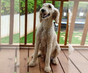 Main photo of Goldendoodle Dog Breeder near LARAMIE, WY, USA