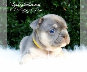 American Bully Dog Breeder in CANTON,  USA