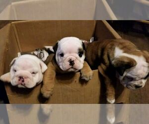 English Bulldog Dog Breeder in COLUMBUS,  USA