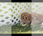 Cocker Spaniel Breeder in MINOOKA, IL