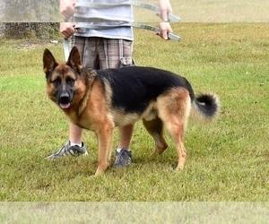 German Shepherd Dog Dog Breeder in NEOSHO,  USA