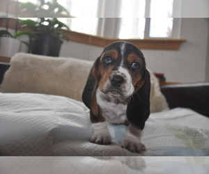 Main photo of Basset Hound Dog Breeder near DEER VALLEY, UT, USA