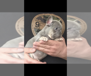 English Bulldog Dog Breeder in NUNNELLY,  USA