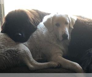 Main photo of Great Pyrenees-Newfoundland Mix Dog Breeder near Regina, Saskatchewan, Canada