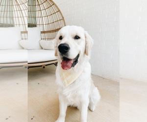 English Cream Golden Retriever Dog Breeder in LONGVIEW,  USA