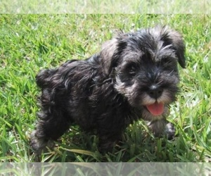 Schnauzer (Miniature) Breeder in ,