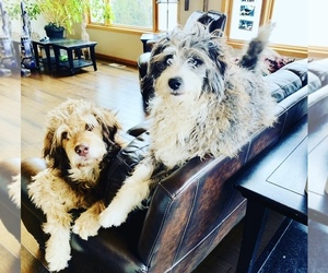 F2 Aussiedoodle Dog Breeder in WABASHA,  USA