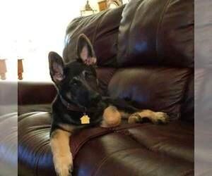 Main photo of German Shepherd Dog Dog Breeder near LAKEVILLE, OH, USA