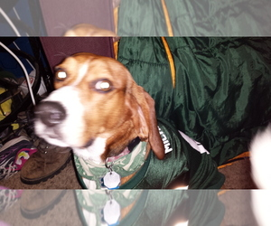Beagle Breeder in MULLIKEN, MI