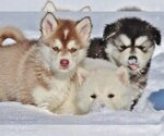 Alaskan Malamute Breeder in OAKRIDGE, OR, USA