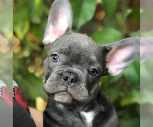 French Bulldog Dog Breeder in PALO ALTO,  USA