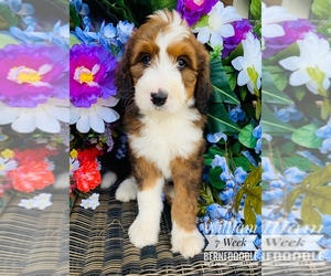 Bernedoodle Dog Breeder in MOORE,  USA