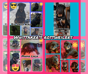 Main photo of Rottweiler Dog Breeder near EDEN, IN, USA