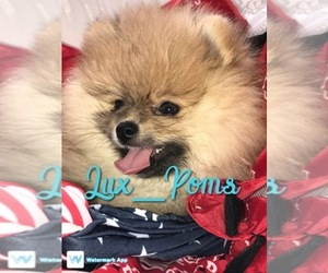 Pomeranian Breeder in WATERTOWN, MA, USA