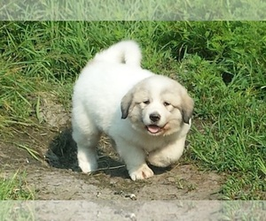 Main photo of Great Pyrenees Dog Breeder near DASSEL, MN, USA