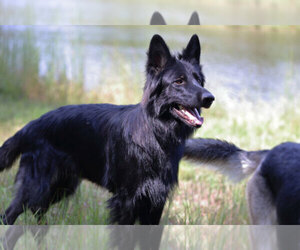 Main photo of German Shepherd Dog Dog Breeder near REDFIELD, AR, USA
