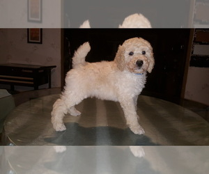 Main photo of Poodle (Standard) Dog Breeder near WARREN, OH, USA
