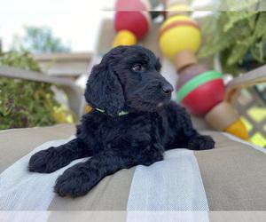 Goldendoodle Dog Breeder in CHAMPION,  USA