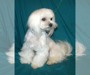 Main photo of Maltese Dog Breeder near ALAMEDA, NM, USA