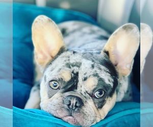 Main photo of French Bulldog Dog Breeder near KERENS, TX, USA