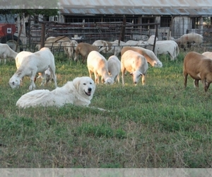 Maremma Sheepdog Dog Breeder near KINGMAN, KS, USA