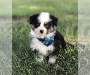 Main photo of Miniature Australian Shepherd Dog Breeder near MC LEAN, IL, USA
