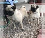 Pug Breeder in APPLE VALLEY, CA, USA
