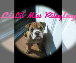 Main photo of Bulldog Dog Breeder near SCOTTSBURG, IN, USA