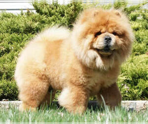 Chow Chow Dog Breeder in NAPPANEE,  USA