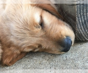 Main photo of Golden Retriever Dog Breeder near SAN DIEGO, CA, USA