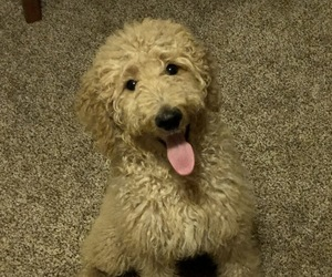 Main photo of Goldendoodle Dog Breeder near NEWTON, IL, USA