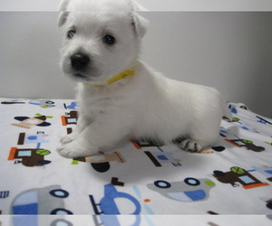 West Highland White Terrier Breeder in SAINT JOHNS, FL, USA