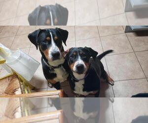 Greater Swiss Mountain Dog Dog Breeder near HOLBROOK, MA, USA