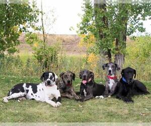 Great Dane Breeder in FORT LUPTON, CO