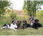 Great Dane Breeder in FORT LUPTON, CO, USA