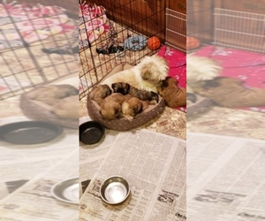 Main photo of Shih Tzu Dog Breeder near KIRKSVILLE, MO, USA