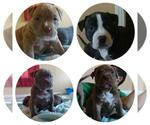 Bullypit Breeder in KILLEEN, TX, USA