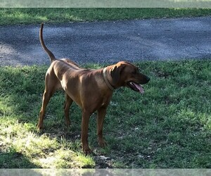 Main photo of Rhodesian Ridgeback Dog Breeder near BOERNE, TX, USA