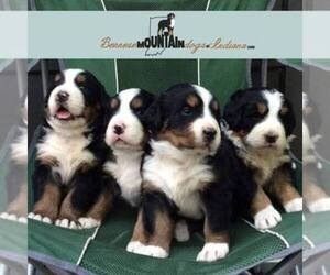 Bernese Mountain Dog Dog Breeder near COLUMBUS, IN, USA