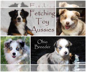 Main photo of Miniature Australian Shepherd Dog Breeder near CINCINNATI, OH, USA