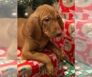 Vizsla Dog Breeder in BENTON,  USA