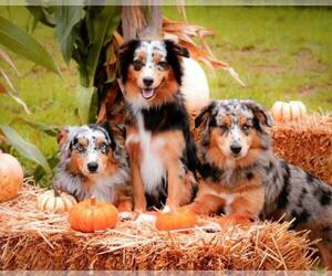 Miniature Australian Shepherd Dog Breeder in MOUNT VERNON,  USA